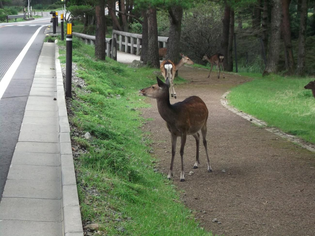 道路に鹿が